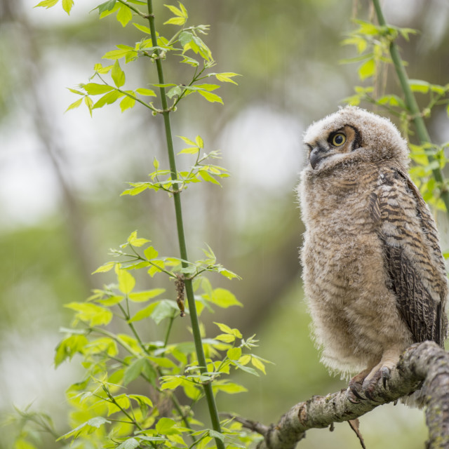 """Fluffy Owlet"" stock image"