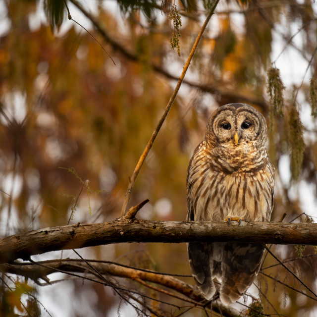"""""""First Light Barred Owl"""" stock image"""
