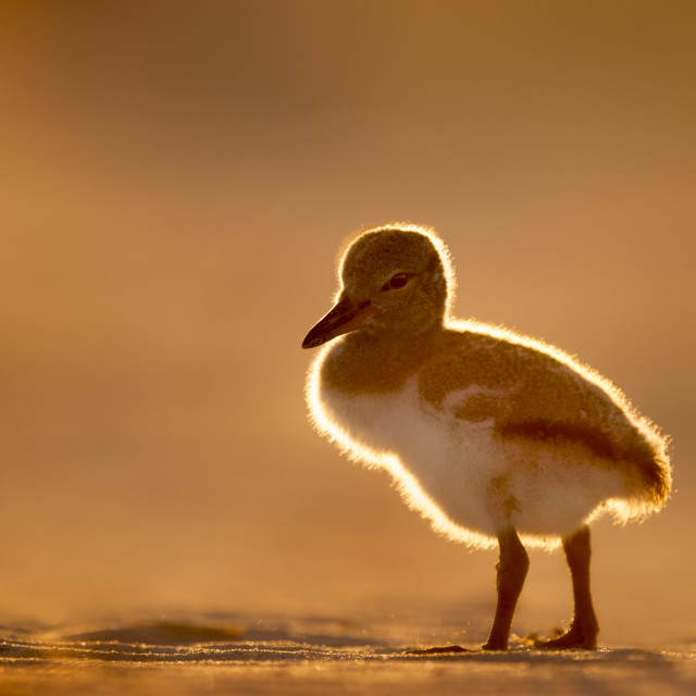 """""""Glowing American Oystercatcher Chick"""" stock image"""
