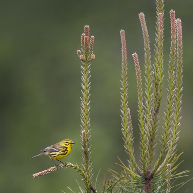 """""""Fresh Pine Prairie Warbler"""" stock image"""