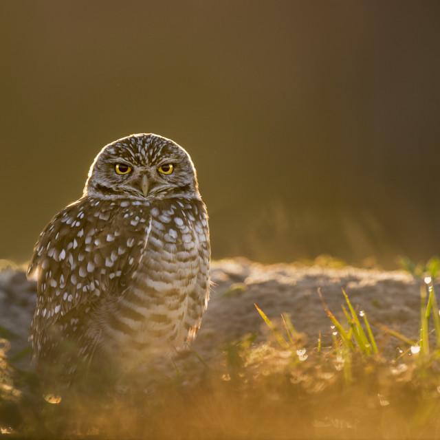 """""""Glowing Burrowing Owl"""" stock image"""