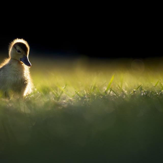 """Glowing Gosling"" stock image"