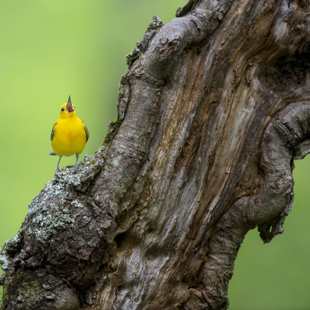 """""""Gnarled Wood and the Warbler"""" stock image"""