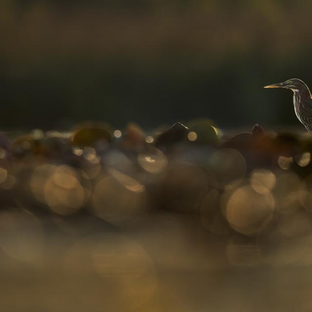 """Golden Morning Green Heron"" stock image"