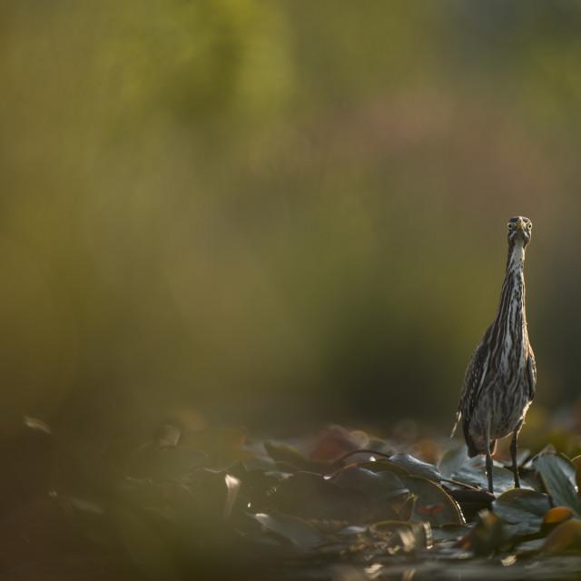 """Goofy Green Heron"" stock image"