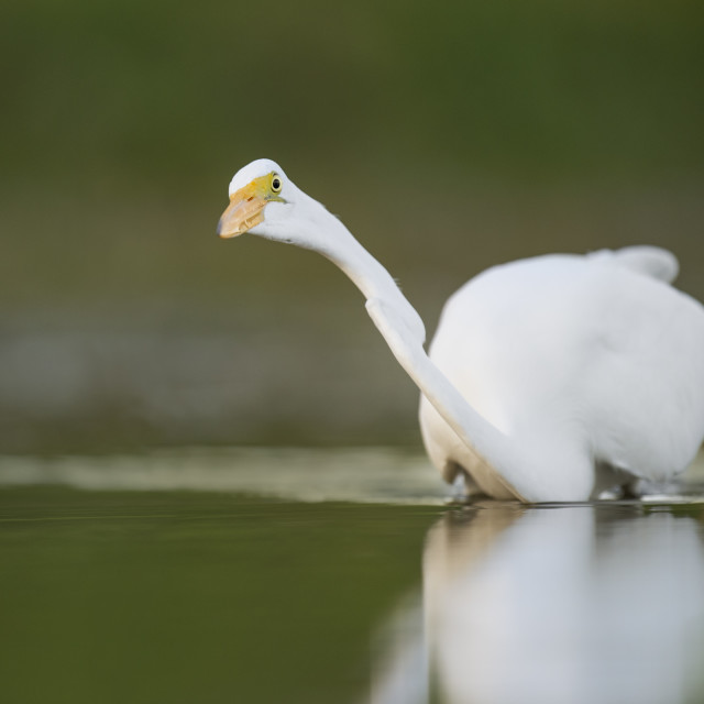"""Great Egret Stalking"" stock image"