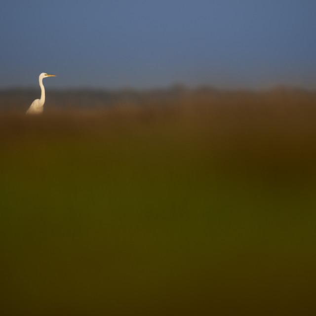 """Great Egret in the Marsh"" stock image"