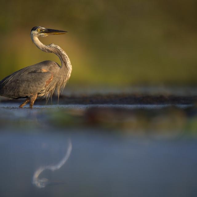 """""""Great Blue Heron Stalking"""" stock image"""