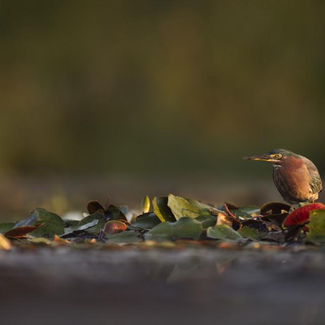 """Green Heron at Sunrise"" stock image"