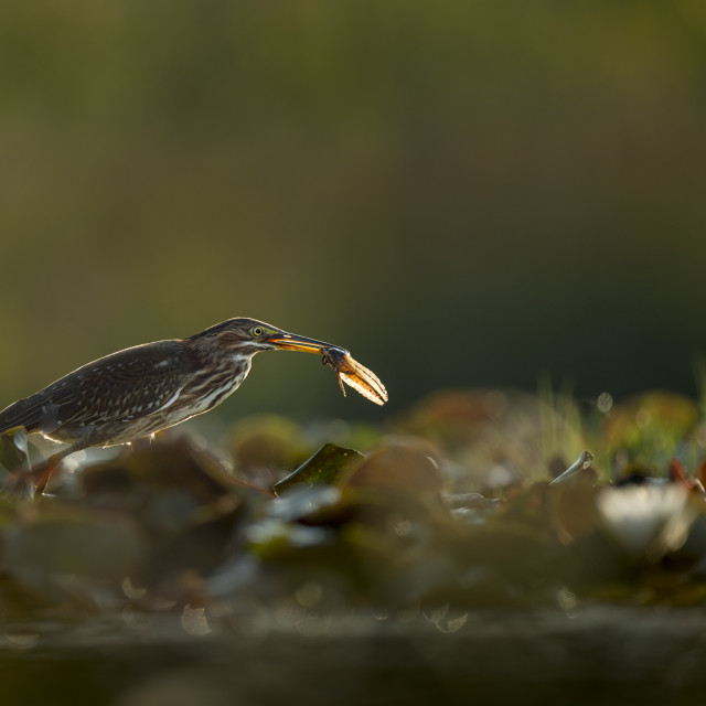 """""""Green Heron with a Tadpole"""" stock image"""