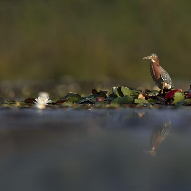 """Green Heron Panorama"" stock image"
