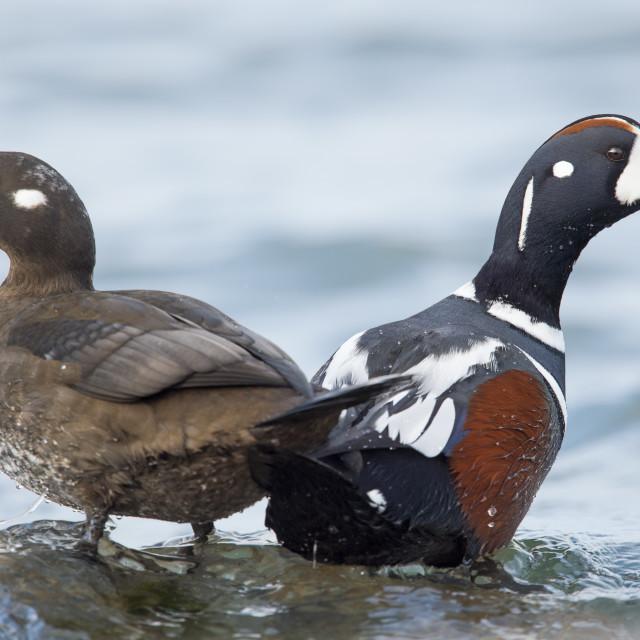 """Harlequin Duck Pair"" stock image"