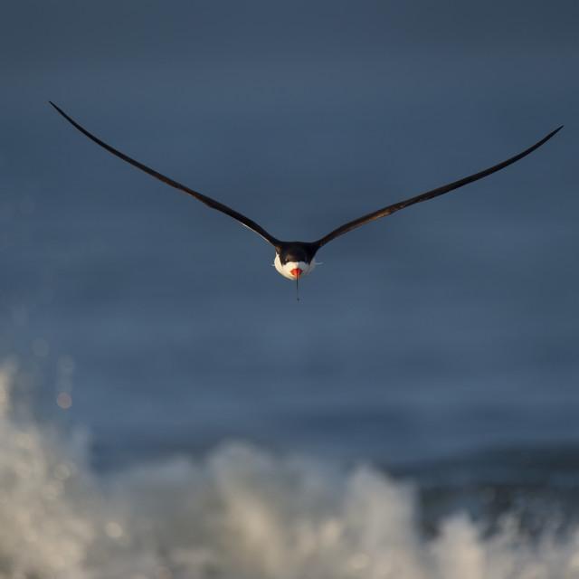 """""""Head-on Black Skimmer"""" stock image"""