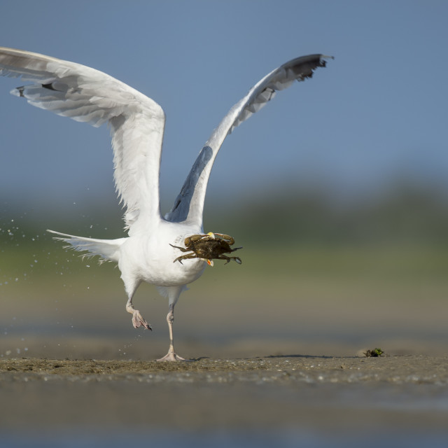 """""""Herring Gull with a Crab"""" stock image"""