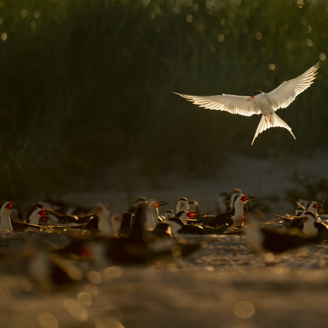"""""""Hovering Common Tern"""" stock image"""