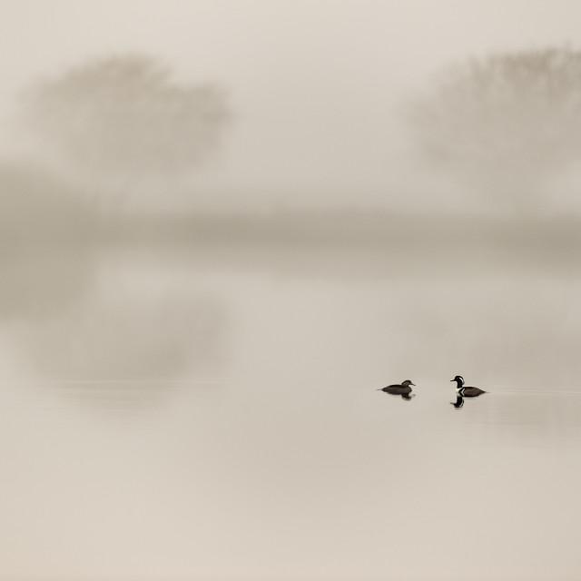 """""""Hooded Merganser Pair in the Morning Fog"""" stock image"""