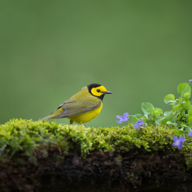 """""""Hooded Warbler with Purple Flowers"""" stock image"""