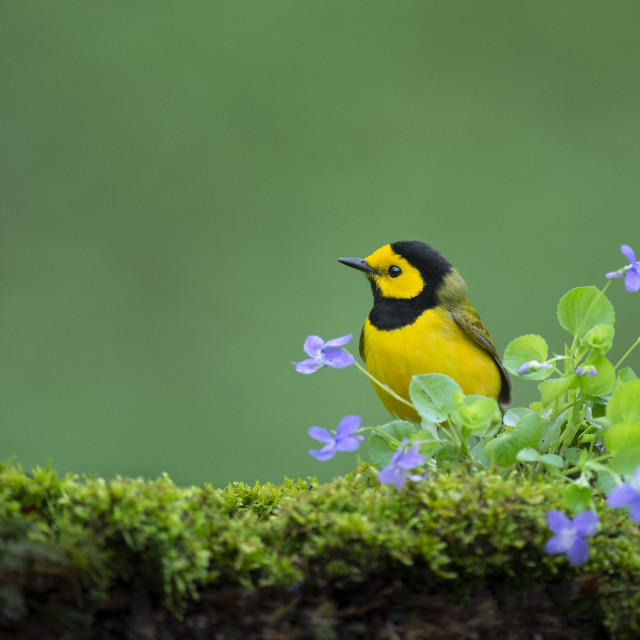 """""""Hooded Warbler with Flowers"""" stock image"""