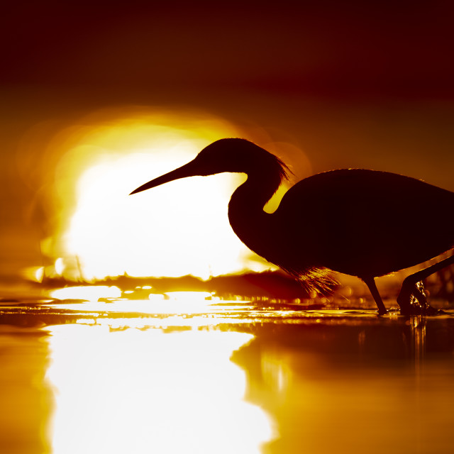 """""""Hunting Egret Silhouette"""" stock image"""