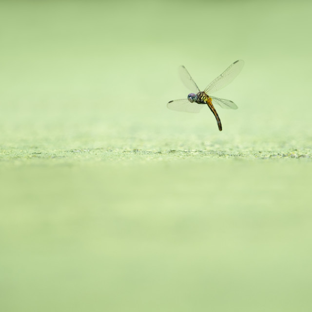 """""""Hovering Dragonfly"""" stock image"""