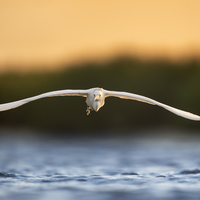 """""""Incoming Snowy Egret"""" stock image"""