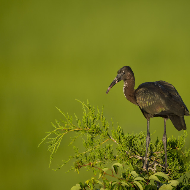 """Juvenille Glossy Ibis"" stock image"