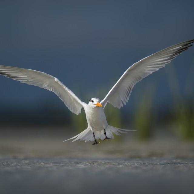 """""""Landing Royal Tern"""" stock image"""