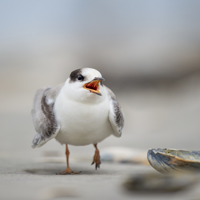 """Juvenile Common Tern"" stock image"
