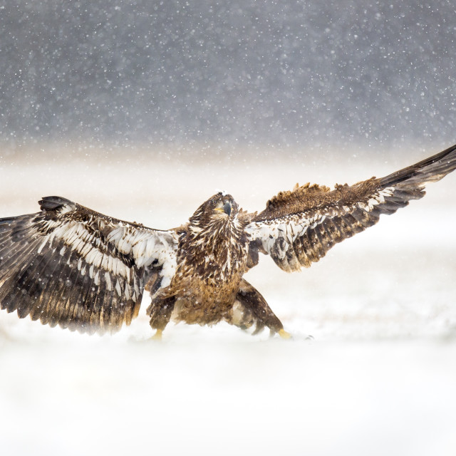 """Landing Juvenile Bald Eagle"" stock image"