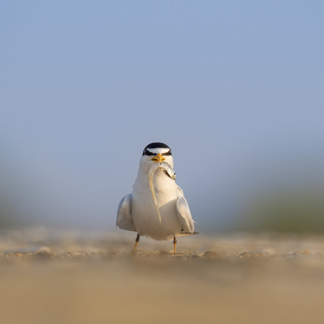 """""""Least Tern with a Fish"""" stock image"""