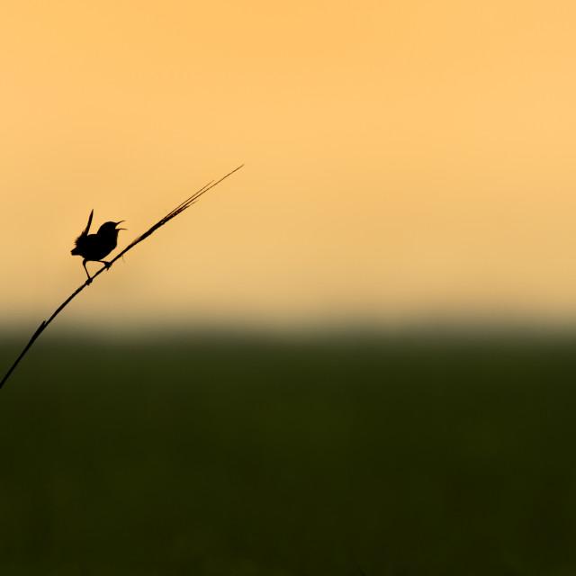 """""""Marsh Wren Calling Silhouette"""" stock image"""
