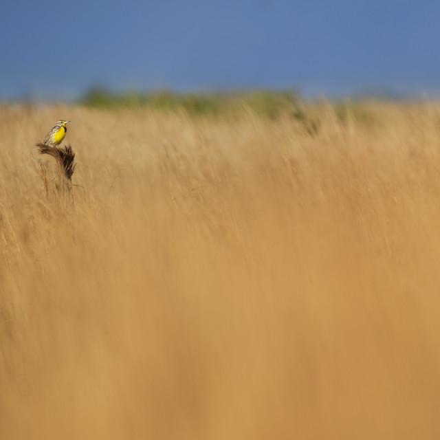 """Meadowlark in Grasslands"" stock image"