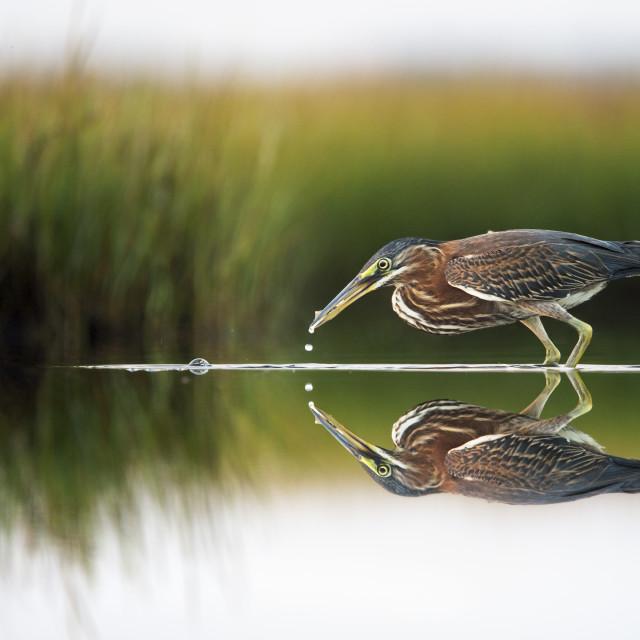 """Mirrored Green Heron"" stock image"