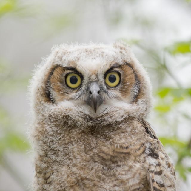 """""""Owlet Eyes"""" stock image"""