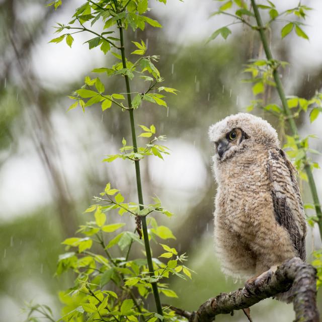 """Owl in the Rain"" stock image"