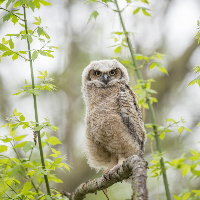 """""""Owlet in the Rain"""" stock image"""