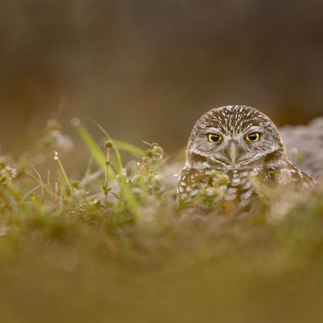 """Owl Peeking from the Burrow"" stock image"