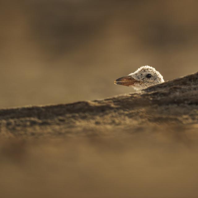 """""""Peeking Black Skimmer Chick"""" stock image"""