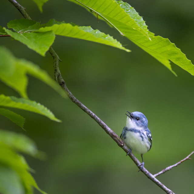 """""""Perched Cerulean Warbler"""" stock image"""