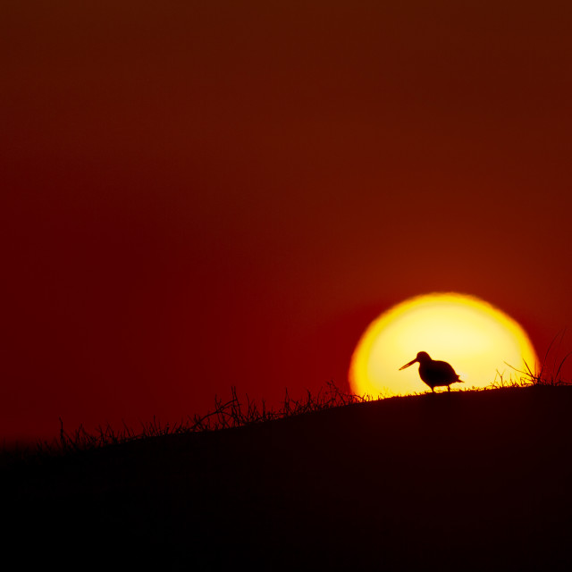"""""""Oystercatcher Silhouette"""" stock image"""