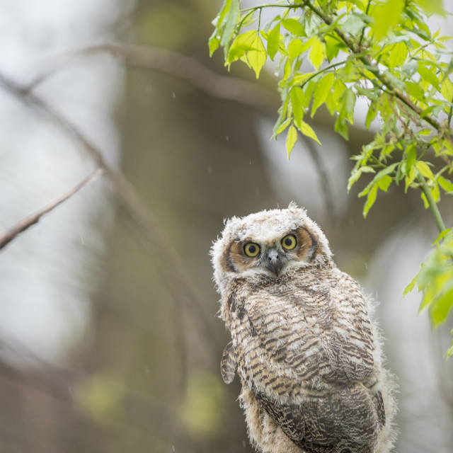 """""""Perched Owlet"""" stock image"""
