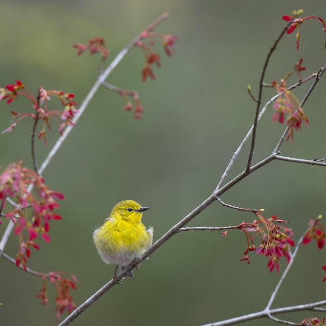 """""""Pine Warbler and Maple Seeds"""" stock image"""