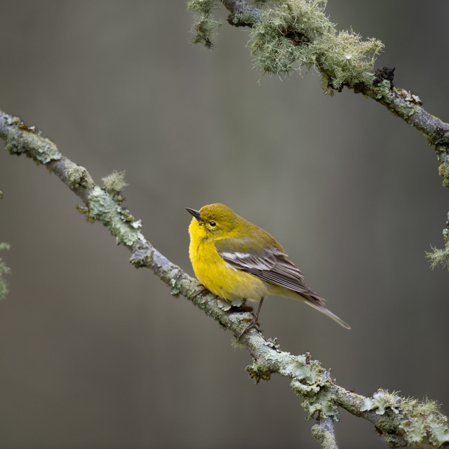 """""""Pine Warbler and Lichen"""" stock image"""