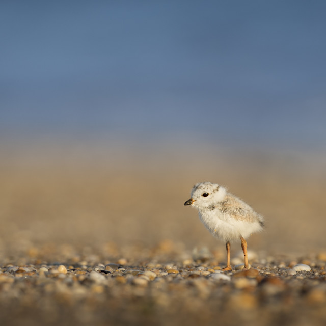 """""""Piping Plover Chick on a Pebbly Beach"""" stock image"""