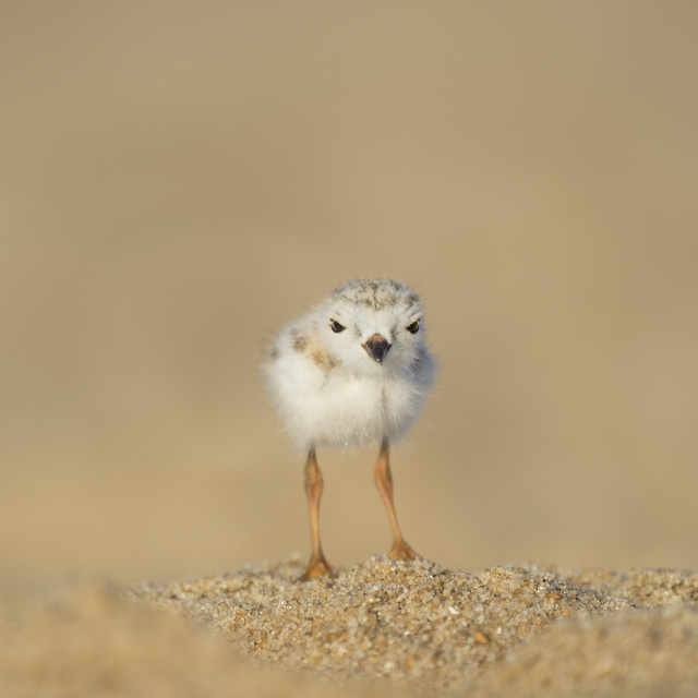 """""""Piping Plover Chick Stare"""" stock image"""