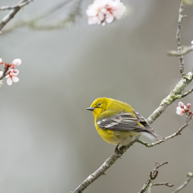 """""""Pine Warbler with Pink Flowers"""" stock image"""