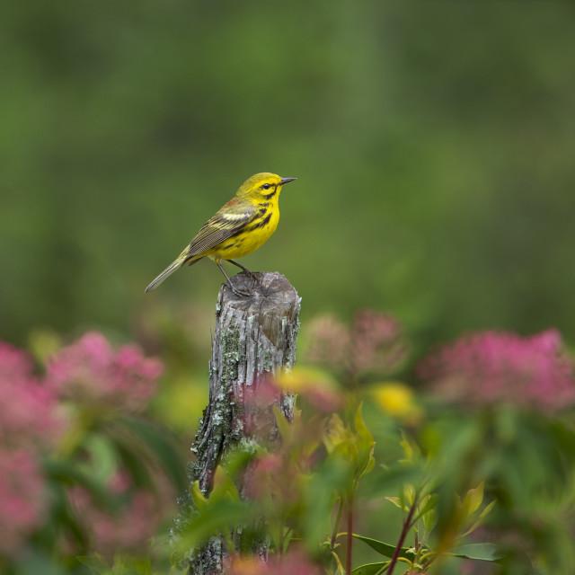 """Prairie Warbler and Flowers"" stock image"