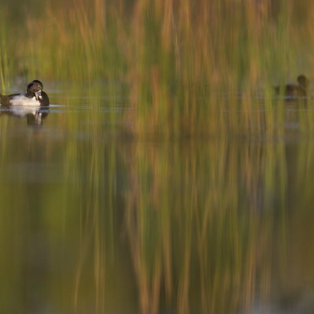 """Preening Ring-necked Duck"" stock image"
