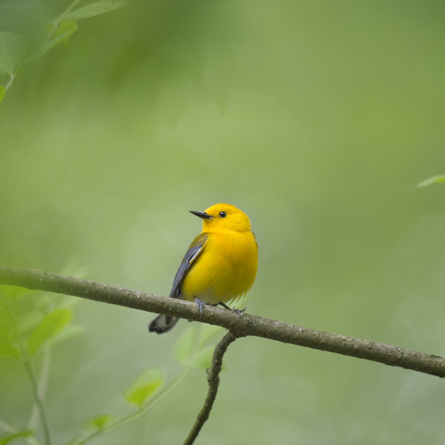 """""""Prothonotary Warbler in Spring"""" stock image"""