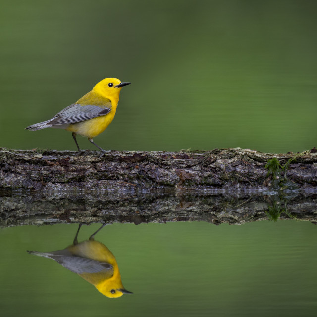 """""""Prothonotary Warbler Reflection"""" stock image"""